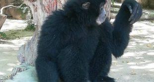 Siamango Gennarino allo Zoo di Napoli