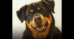 Rottweiler. Foto dal Web