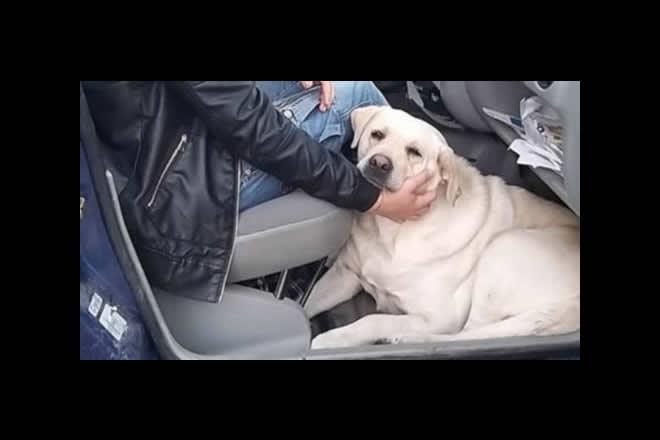 Marlene, il cucciolo di Labrador dimenticato al cimitero. Foto dal Web