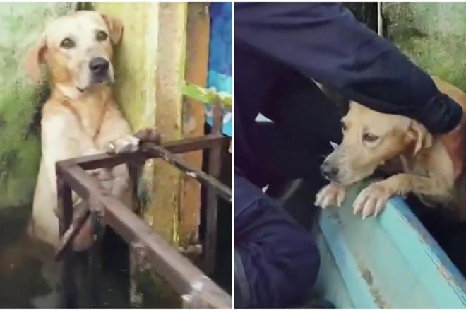 Labrador tratto in salvo e adottato dalla marina militare in Messico. Foto dal Web